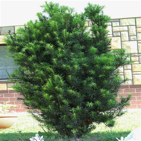 Photo Gallery Ideas by Taxus Baccata English Yew
