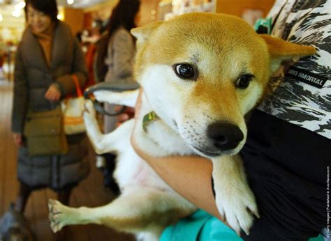 rent a puppy rent a in japan 187 gagdaily news