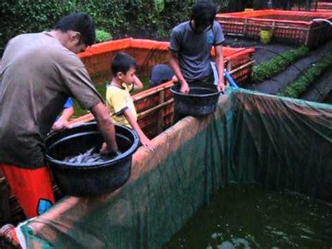 Bibit Lele Sangkuriang Banyuwangi panen ikan lele mp4 doovi