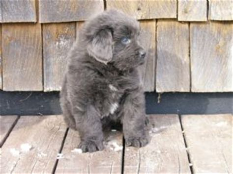 gray newfoundland puppies for sale newfoundland puppies for sale