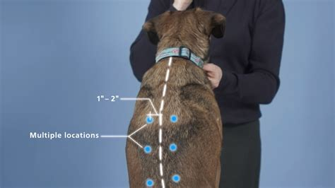 insulin for dogs vetsulin dosing in dogs