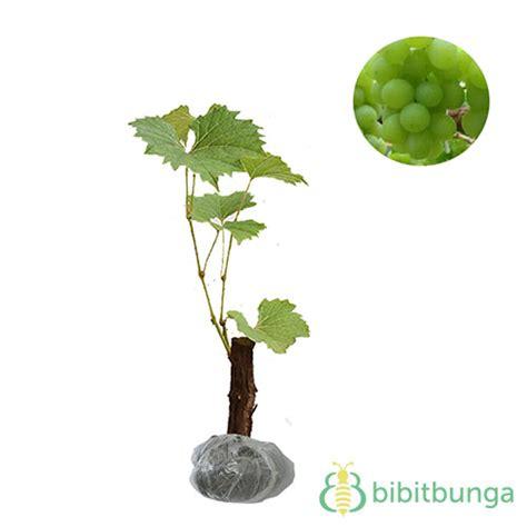 Tanaman Thunbergia Biru Blue Clock Vine tanaman anggur hijau lokal bibitbunga