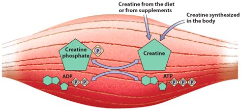 creatine phosphate functions in the cell by creatine a5x isatori nutritional supplements