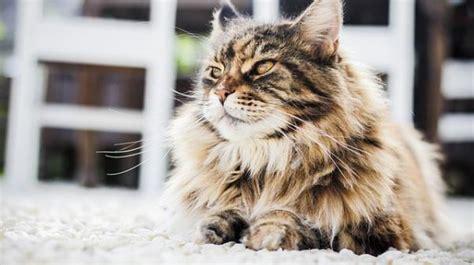 perros para vivir en un piso los mejores gatos para tener en un piso
