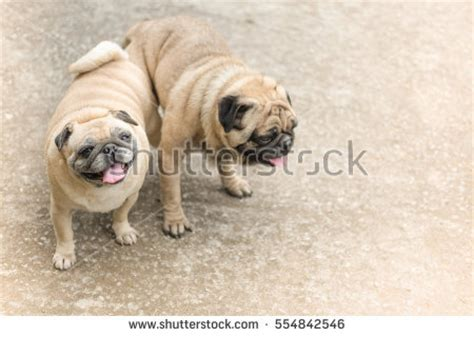 pugs in season stock images royalty free images vectors