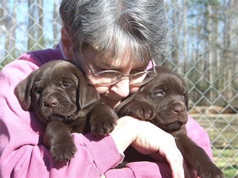 lab puppies for sale in sc hawk n s labrador retrievers