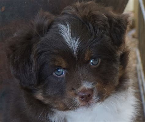 mini aussie puppies for sale mini aussie puppies for sale boys all sold
