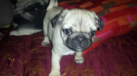 pugs for sale bristol beautiful pug for sale bristol bristol pets4homes
