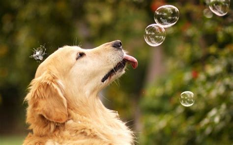golden retriever wallpaper golden retriever wallpapers wallpaper cave