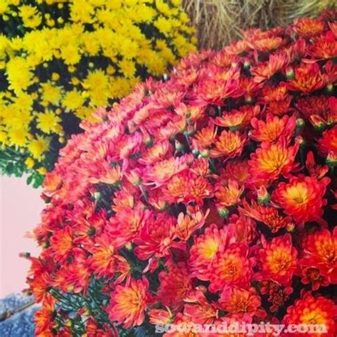 how to care for fall mums paperblog