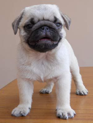 pug puppies ontario puppies on pug puppies for sale ready for 100 usd breeds picture