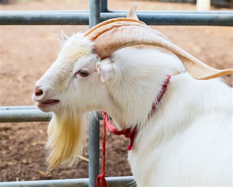 here is a list of 10 extremely good goat beards modern farmer