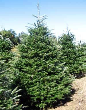 how many christmas trees per acre woody acres tree varieties