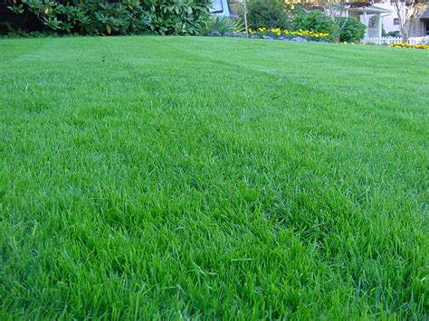 Blue Turf by Buy Mexican Grass Seed 1 2 Kg Syed Garden