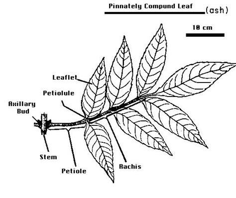 tree leaf diagram department of botany