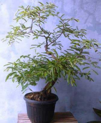 Bakalan Bonsai Asam mengganti media bonsai asam jawa 1 daun ijo