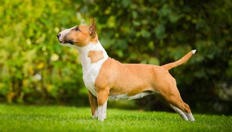 fighting breeds 15 most popular fighting breeds some of these will you