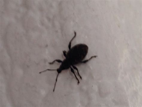 beetles in the house best chemical to kill fleas in carpet what to do to get