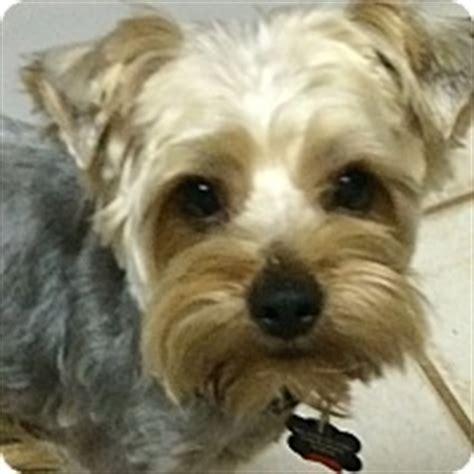 ok yorkie rescue pets adoption edmond ok yorkie terrier meet jackson a for adoption