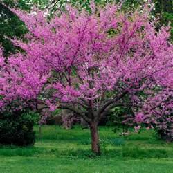 oklahoma redbud oklahoma cercis canadensis texensis my garden life