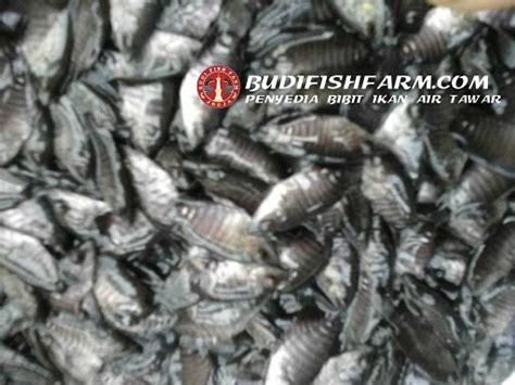 Bibit Ikan Gurame Unggulan harga benih ikan archives budi fish farm budi fish farm