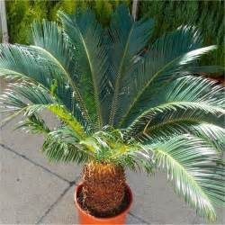 Bibitan Palem Jenggot jual pohon palem sedia aneka jenis pohon palem tanaman hias harga murah hubungi tani sejahtera