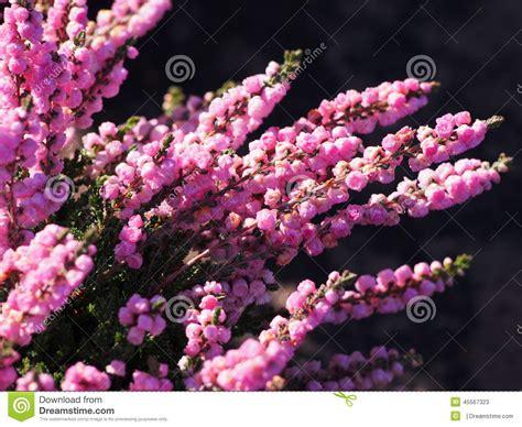erica fiore erica in fiore fotografia stock immagine 45567323