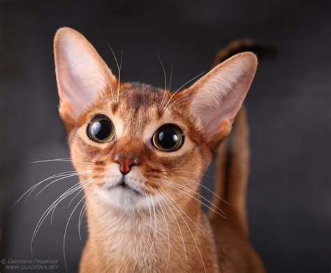 Abyssinian cat pictures. Abyssinian (cat).