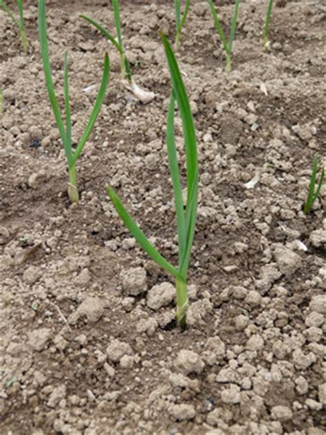 A Partir De Quand Planter Les échalotes by Comment Cultiver De L 233 Chalote Au Potager