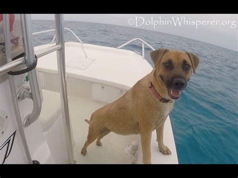 dog boat dolphin dog sees dolphins from boat swims over to join them