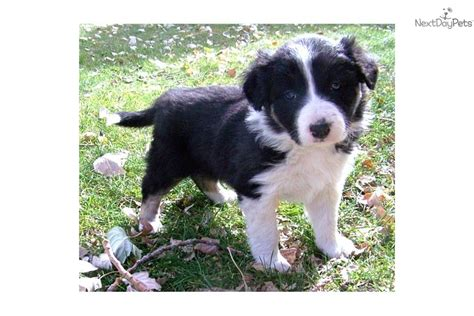 dogs for sale in az puppies for sale from border collies of az nm member since may 2006