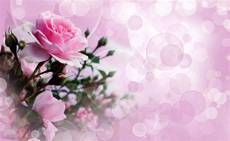 best backgrounds rose wallpaper pink roses pretty wallpapers images hd morewallpapers com