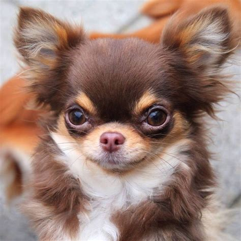 haired chihuahua puppy 801 best chihuahua puppies adults chi chi cuteness images on cubs