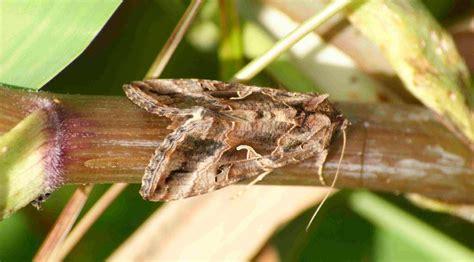 imagenes de mariposas nocturnas mariposas nocturnas im 225 genes y fotos