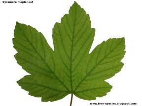 the world 180 s tree species sycamore maple leaf