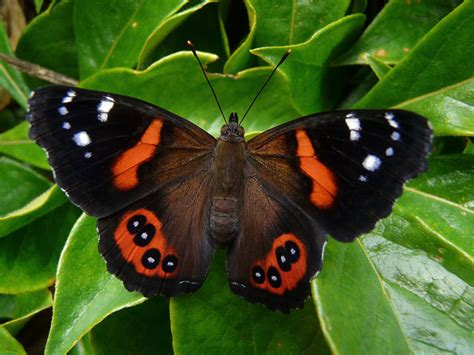 new butterfly admiral email monarch butterfly new zealand trust