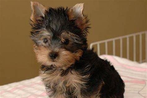 teacup yorkies for sale yorkie puppies for sale in illinois breeds picture