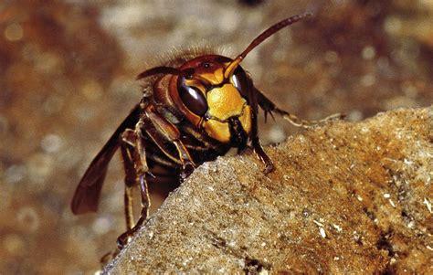 hornisse im haus naturzeit hornissen bei 223 en lieber statt zu stechen