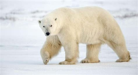 191 qu 233 comen los osos polares 187 respuestas tips