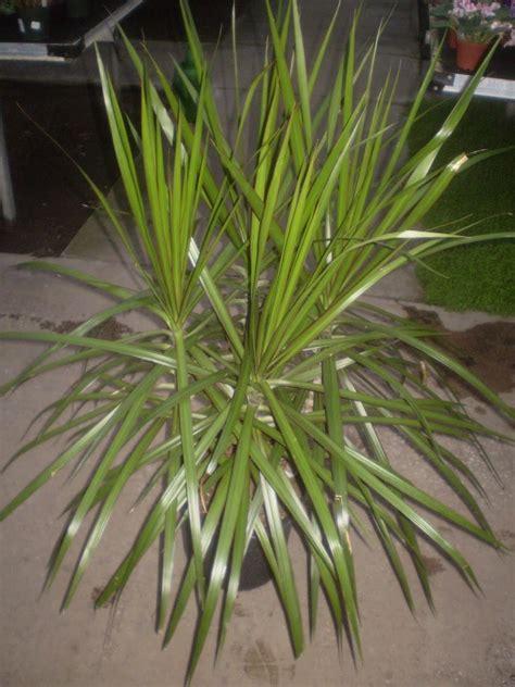 piante da interno sempreverdi piante da interno resistenti piante appartamento