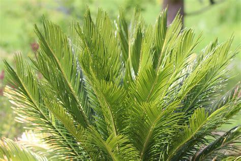 palmfarn cycas revoluta pflege d 252 ngen 220 berwintern - Cycas Revoluta Kaufen