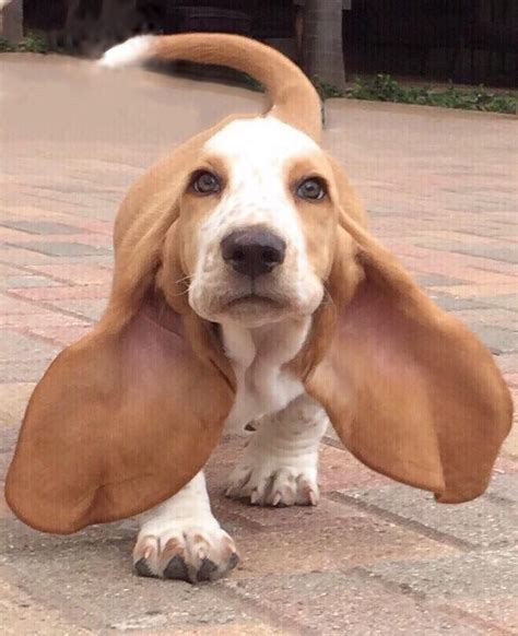basset hound puppies best 20 basset hound puppy ideas on bassett