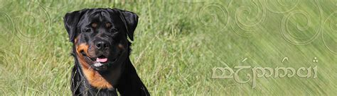 are rottweilers born with tails are rottweilers born with tails
