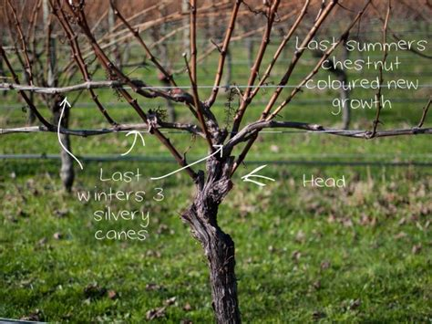 how to prune grapevines like a pro country trading co blog