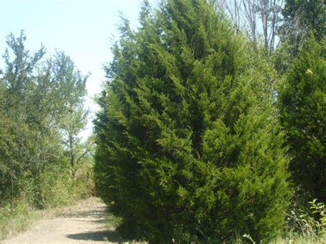 cedar trees facts about cedar trees learn how to care for a cedar tree