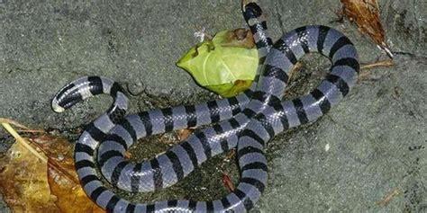 Serum Anti Bisa Ular bisa paling mematikan ular laut anti bisa impor dari