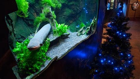 eel powers christmas tree lights at utah aquarium abc news