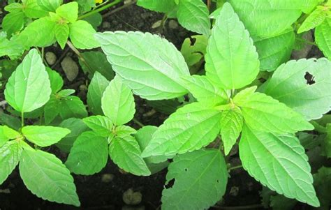Amaranth (Green)   growing for food how to guide