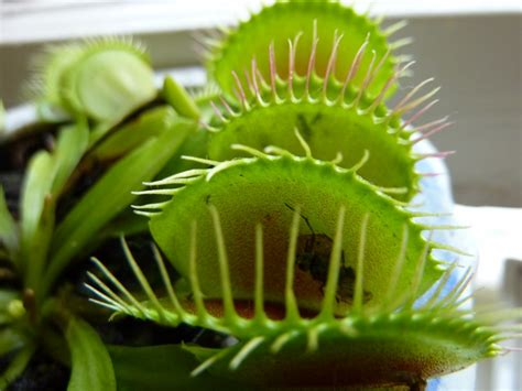 Fly Trap L by Our Pet Venus Fly Trap