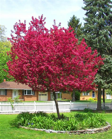 historymike crabapple tree in bloom
